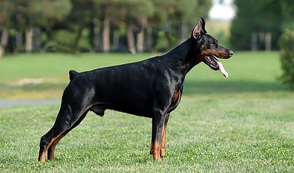 "From Dunaway's Dobermans this is Sire ""Orin"""